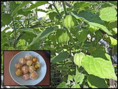 Cape Gooseberry, plant and fruits.