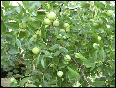 Jujube tree with fruit.