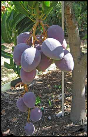 Cluster of mangos on a small tree.