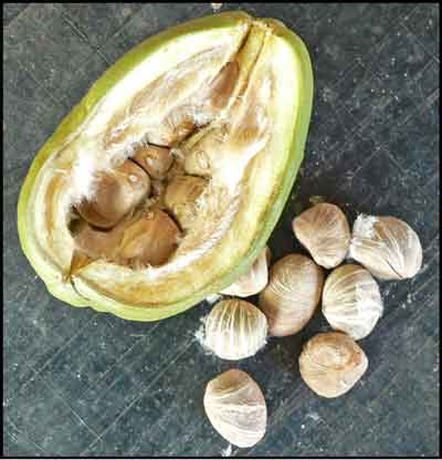 A cut Saba Nut showing seeds.